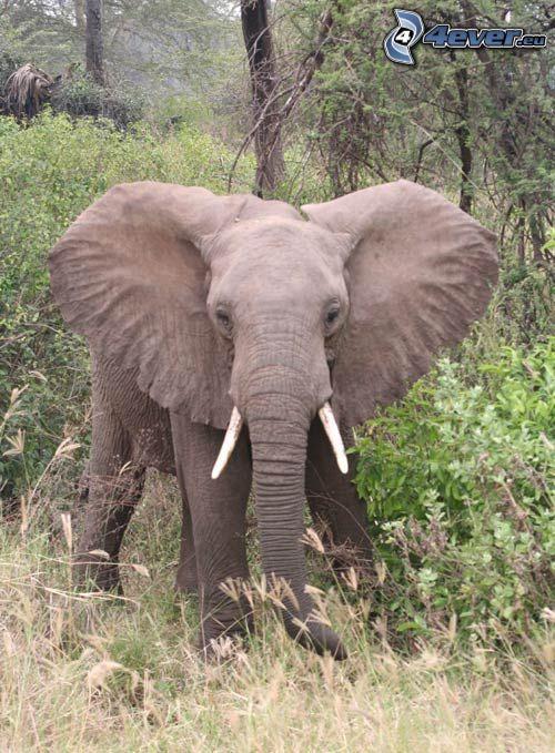 elefante, bosque