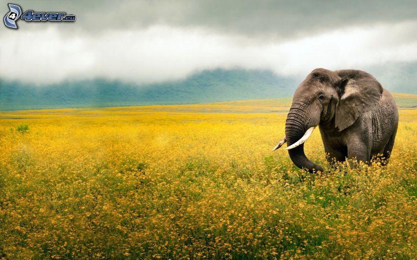 elefante, flores amarillas, campo, nubes