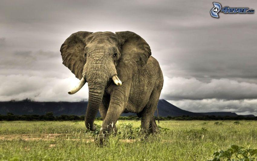elefante, hierba, nubes