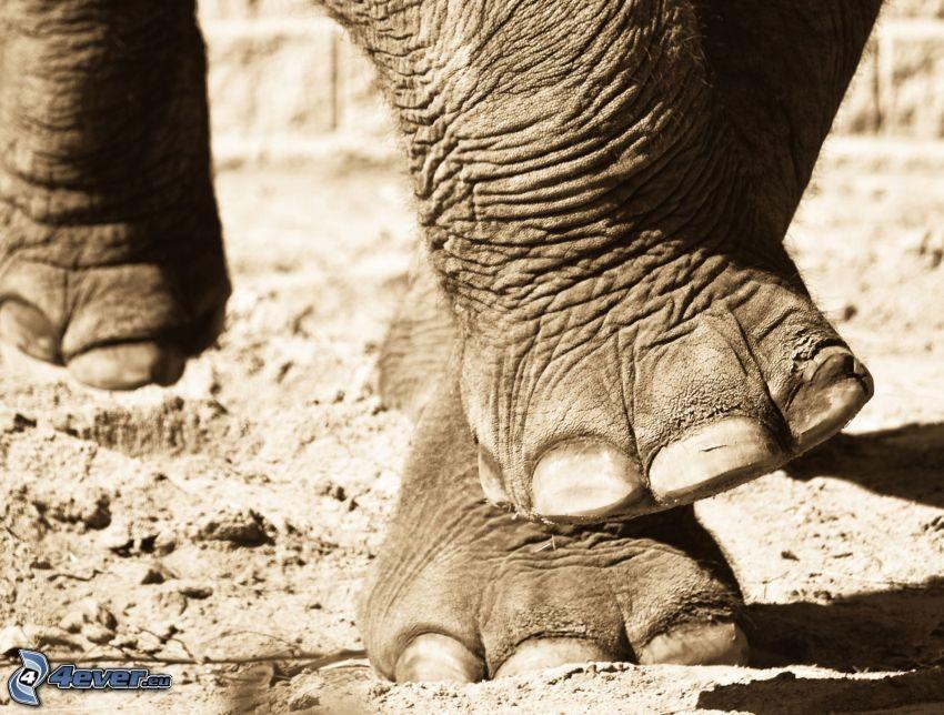 elefante, pies