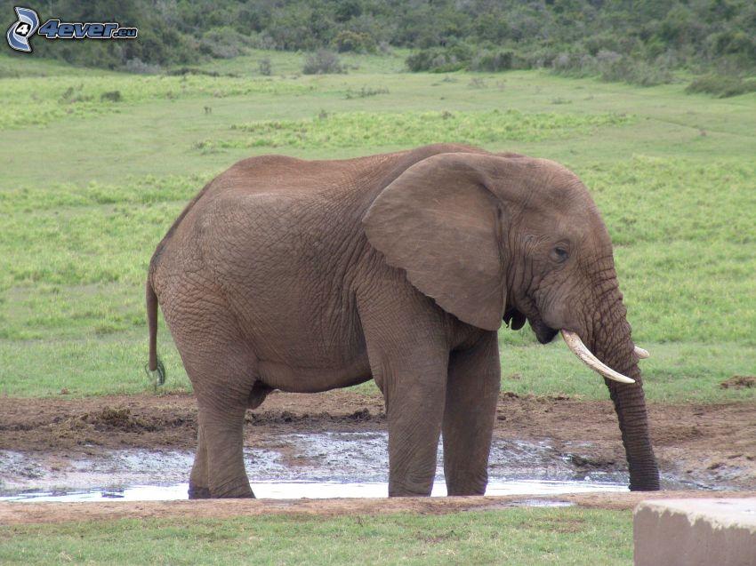 elefante, prado