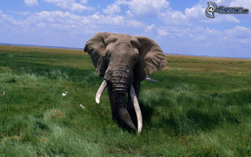 elefante, prado verde