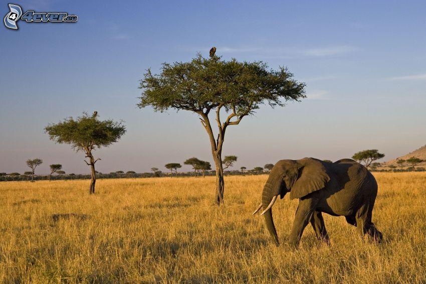 elefante, sabana, árboles, prado