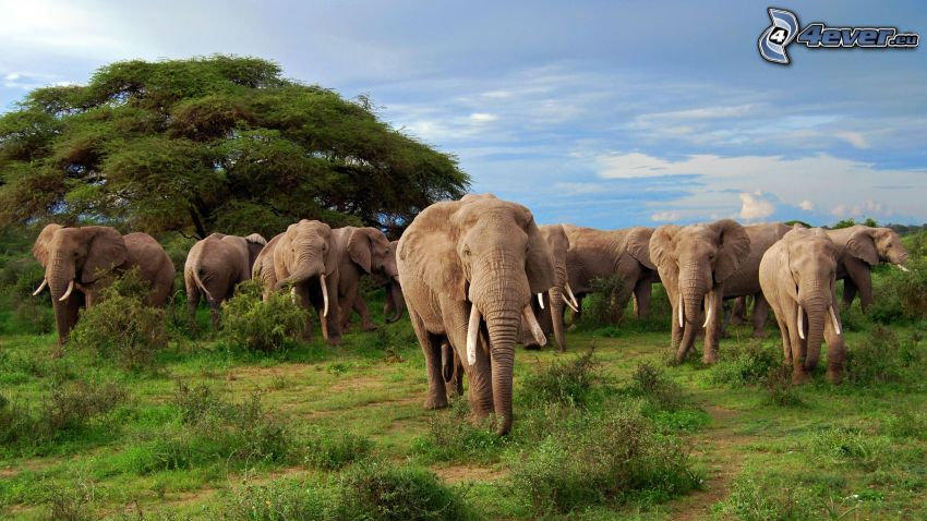 elefantes, árbol, manada de animales