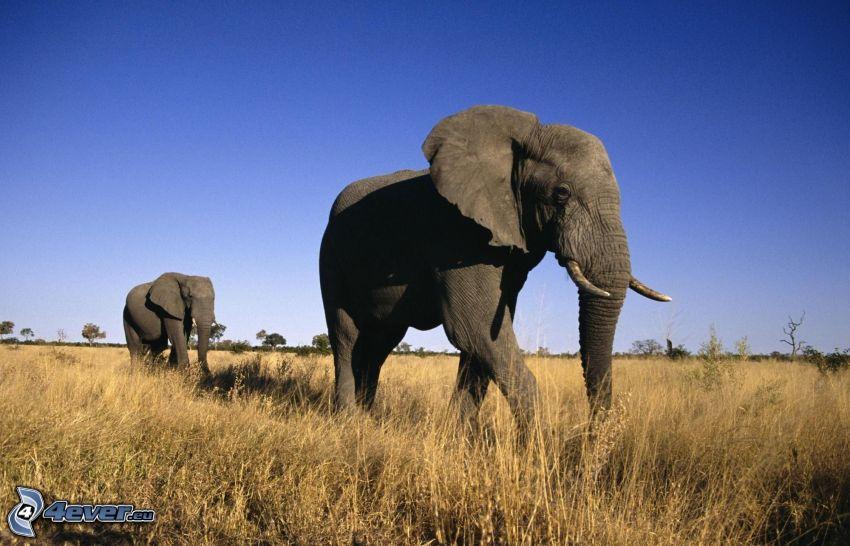 elefantes, campo, cielo