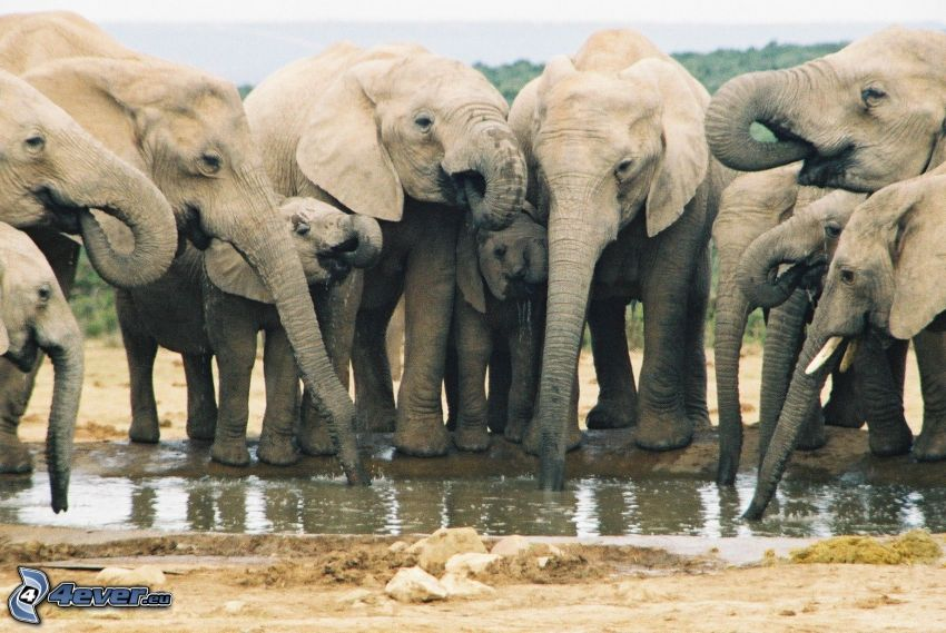 elefantes, charco