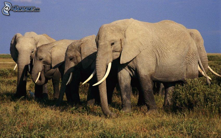 elefantes, hierba seca