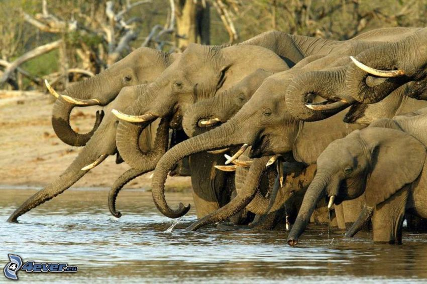 elefantes, río