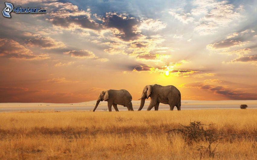 elefantes, sabana, puesta del sol, nubes