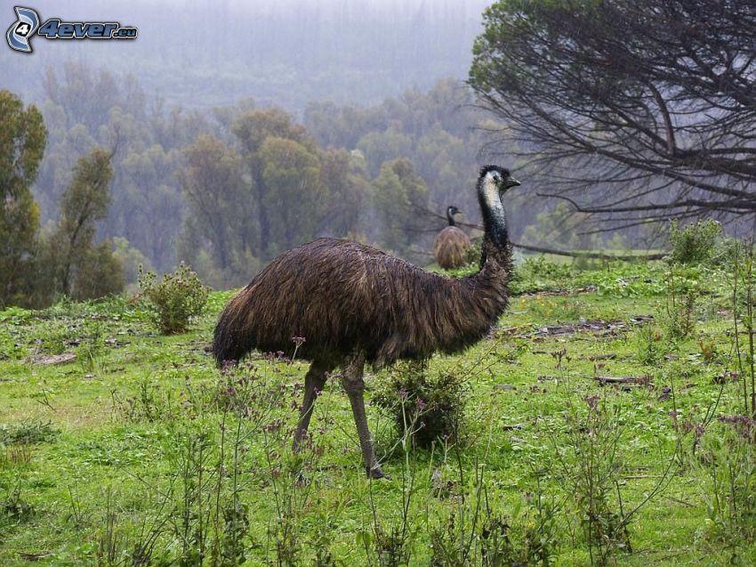 emú, árboles