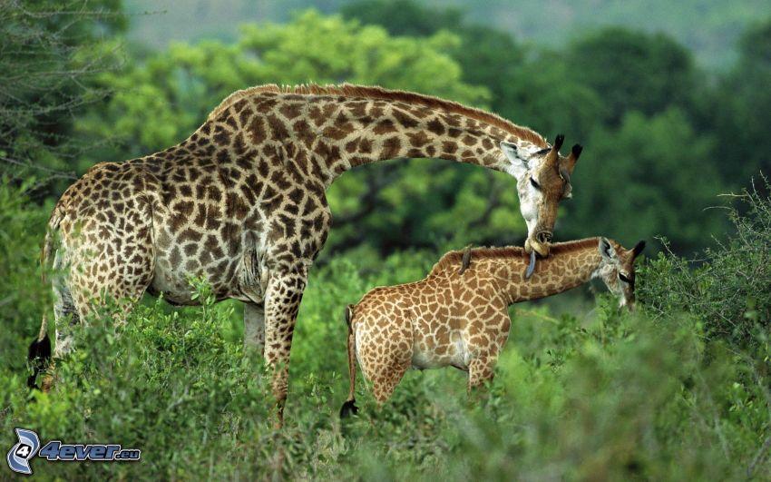 familia de las jirafas, bebé de jirafa, verde