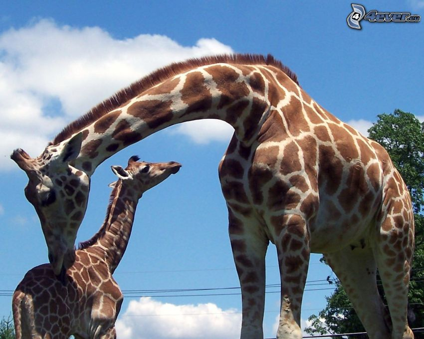 familia de las jirafas, bebé de jirafa