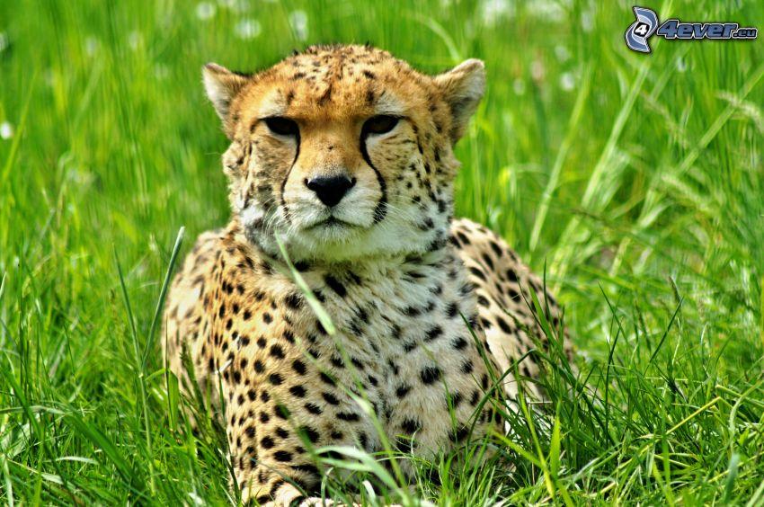 guepardo, hierba