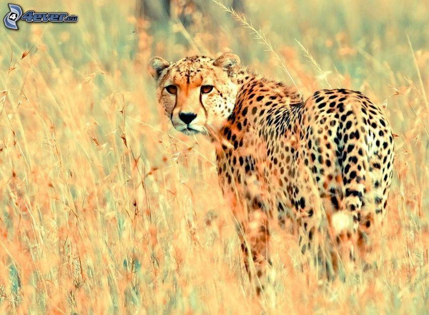 guepardo, hierba seca