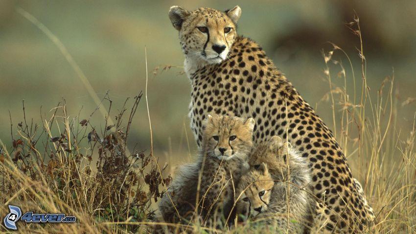 Guepardo con los cachorros, guepardos, hierba seca