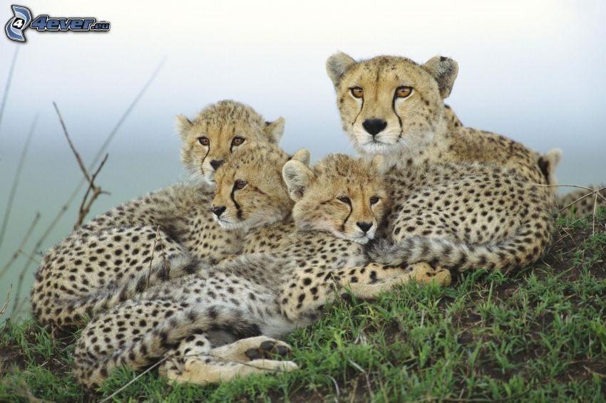 guepardos, crías, familia