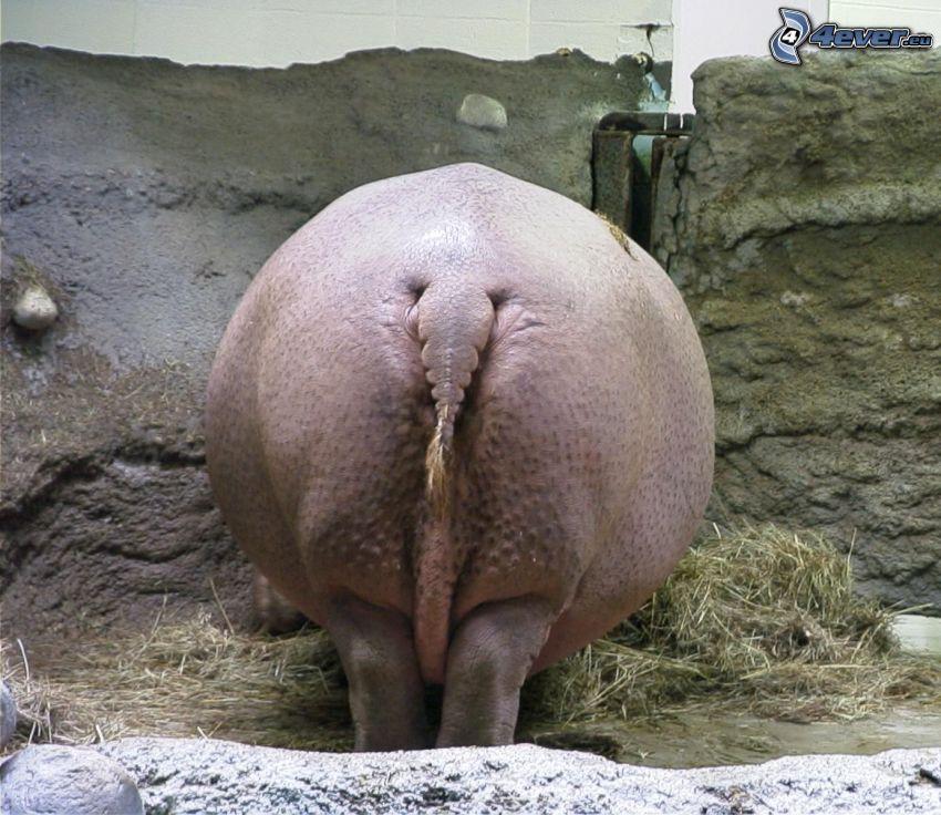 hipopótamo, culo