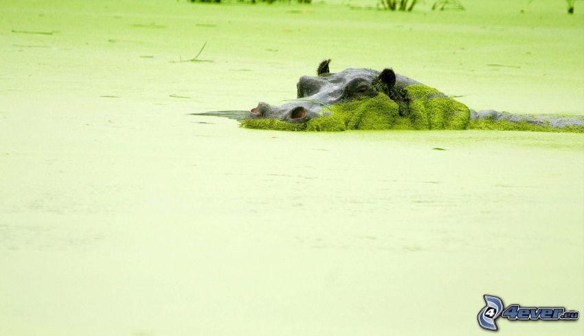 hipopótamo, pantano, alga marina
