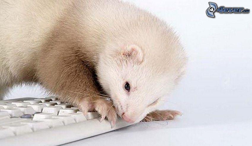 hurón, teclado