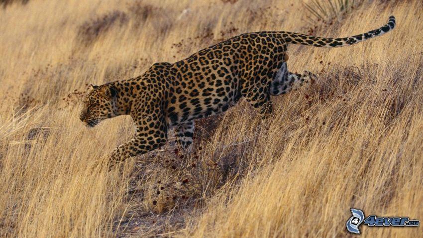 jaguar, hierba seca