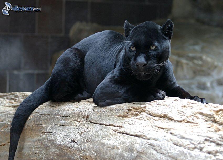 jaguar, tribu