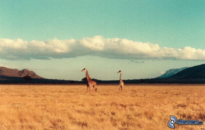 jirafa en la estepa, jirafas, campo, nubes