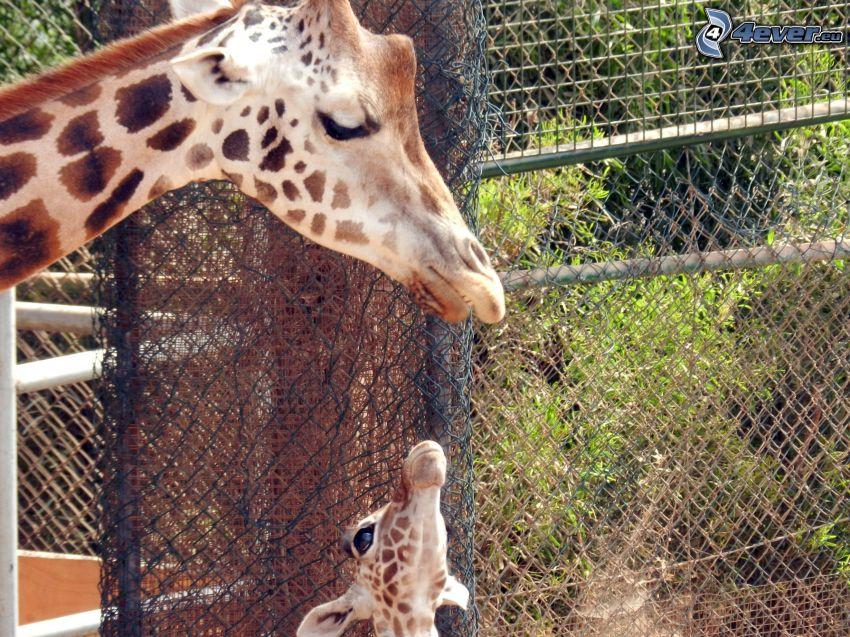 jirafas, bebé de jirafa, ZOO