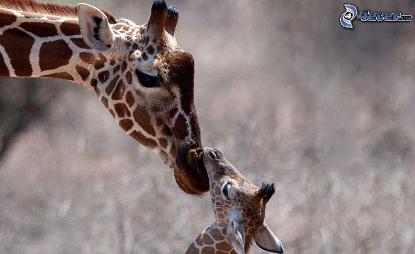 jirafas, bebé de jirafa
