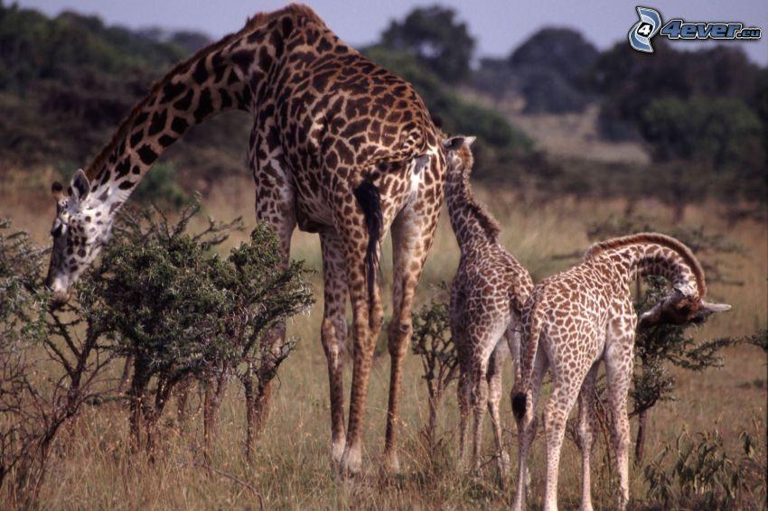 jirafas, crías