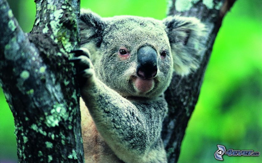koala, tribu
