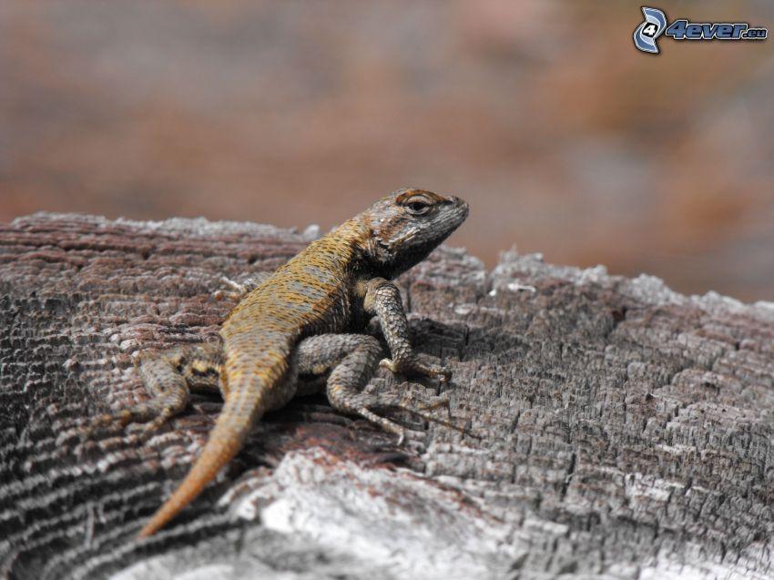 lagarto, madera