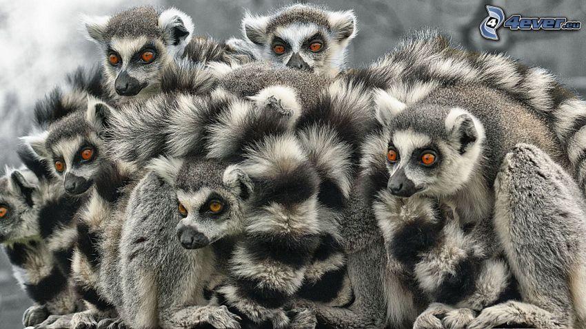 lémuros