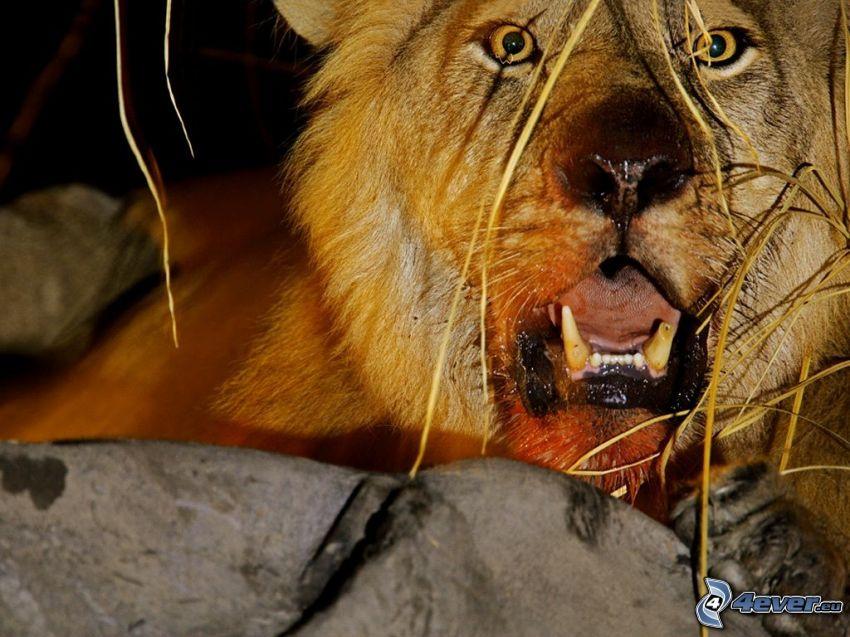 león, animal