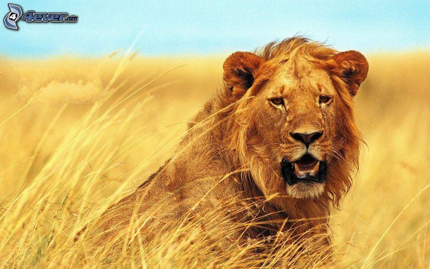 león, campo