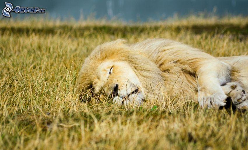león, dormir, hierba seca