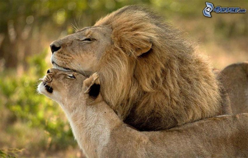 león, leona, abrazar