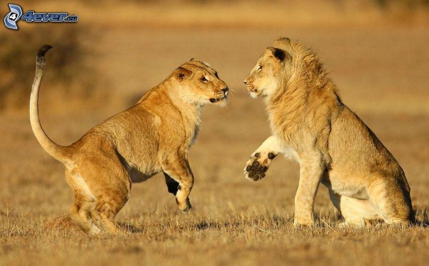 león, leona