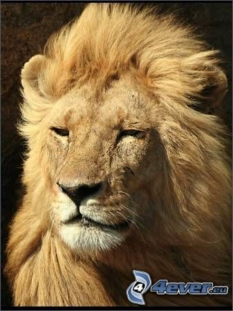 león, melena, viento, rey
