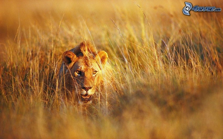 león, paja de hierba