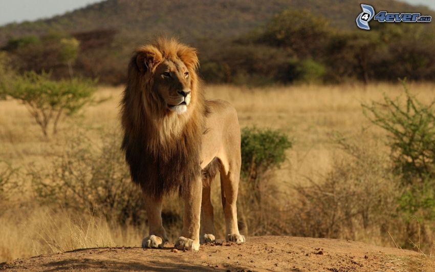 león, safari, estepa, África