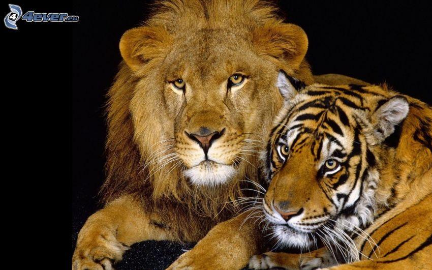 león, tigre