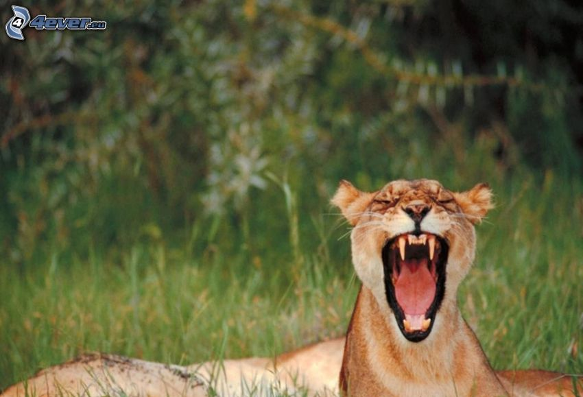 leona, morro, bostezar