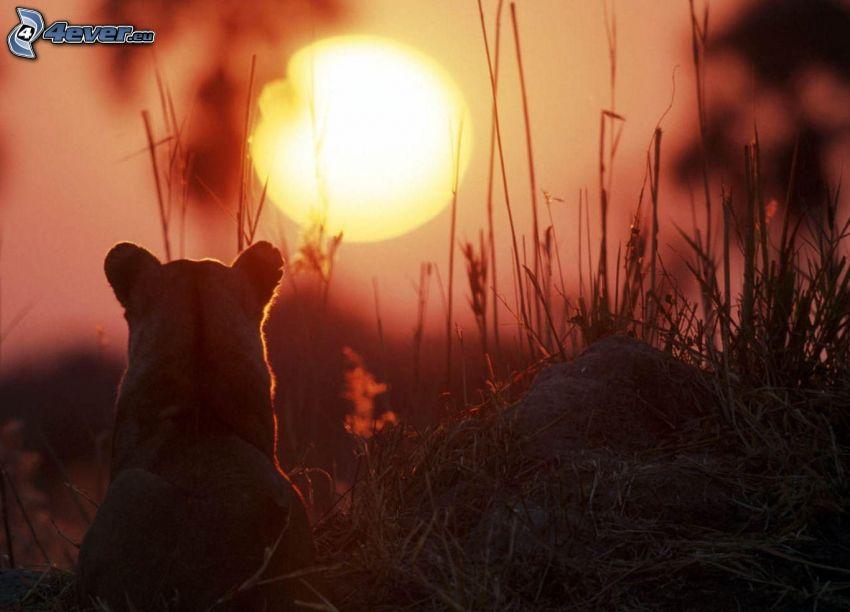 leona, puesta de sol en la sabana, hierba seca