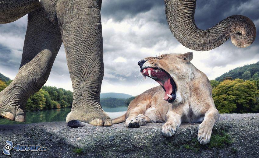 leona, rugido, elefante