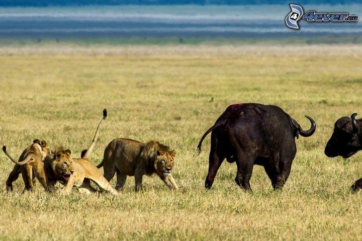 leones, byvoly