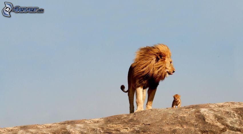 leones, cachorro de león, roca