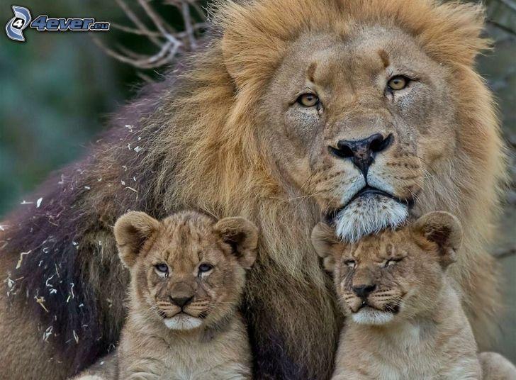 leones, leoncitos
