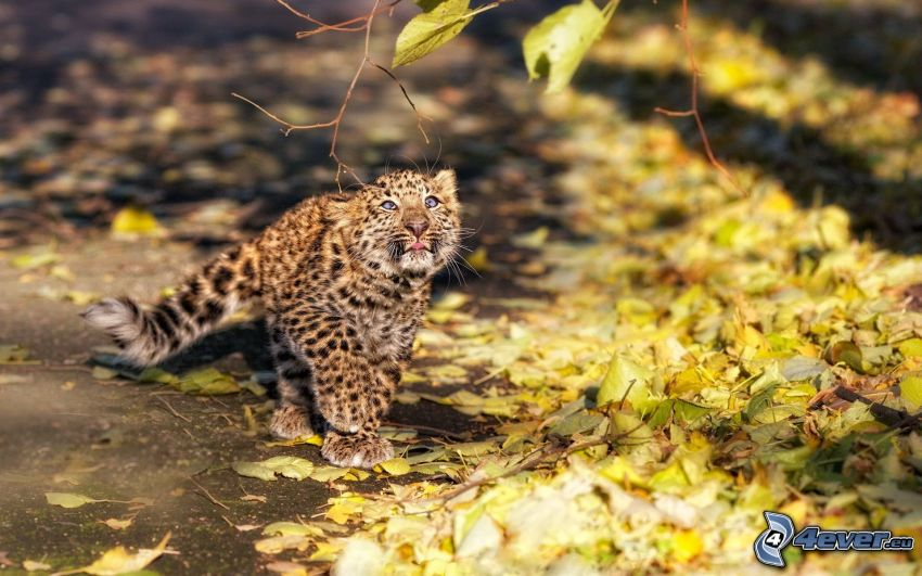 leopardo, cachorro, hojas secas