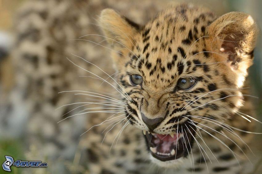 leopardo, cachorro
