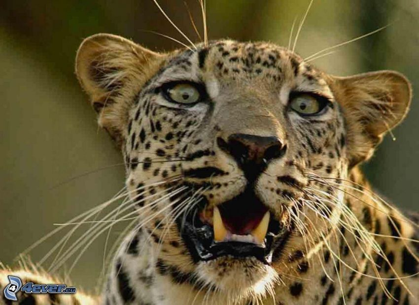 leopardo, morro, colmillos
